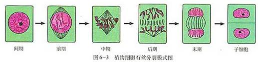 高考生物复习:细胞分裂