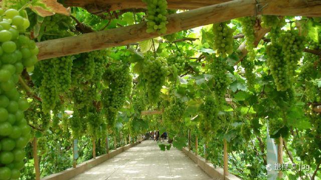新疆导游资格面试景点导游词之吐鲁番葡萄沟景区